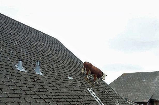 牛が屋根の上で立ち往生に関連した画像-03