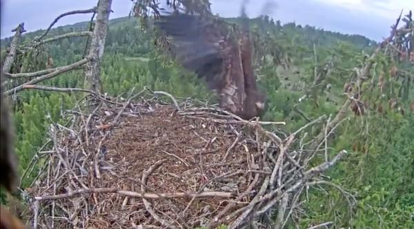 巣にうまく着陸できなかったワシに関連した画像-07