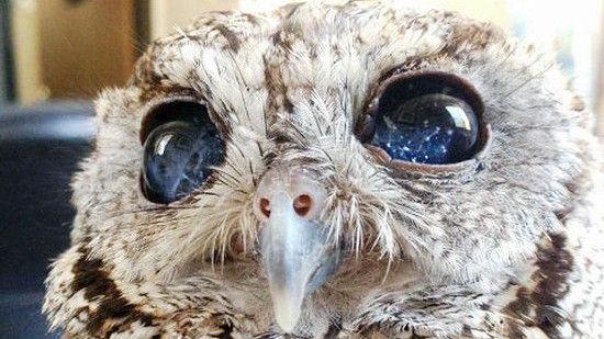 「宇宙の瞳」を持つ盲目のフクロウに関連した画像-01