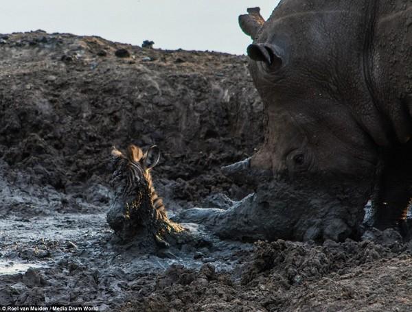 サイが泥沼に落ちた子シマウマを救出!が・・に関連した画像-02