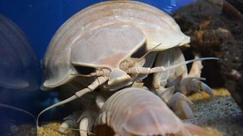 インドネシア オオグソクムシ 新種に関連した画像-01