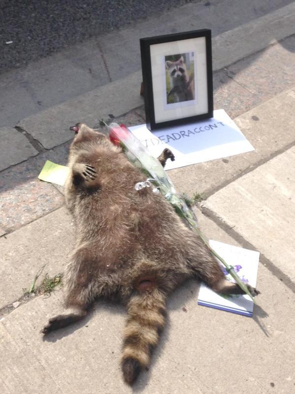 街中で死んだアライグマに、カナダ人が続々と追悼に関連した画像-04
