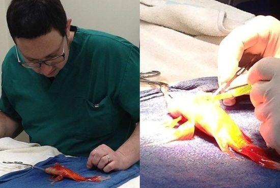 金魚・ジョージの腫瘍摘出手術に関連した画像-03