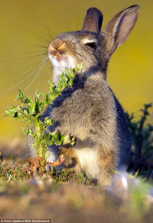 アザミに勢い良くかぶりついたウサギに関連した画像-03