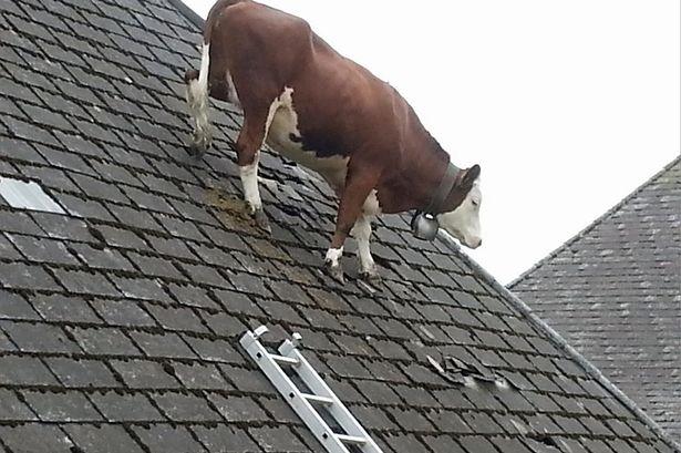 牛が屋根の上で立ち往生に関連した画像-02