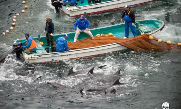 追い込み漁のイルカ入手禁止に関連した画像-02