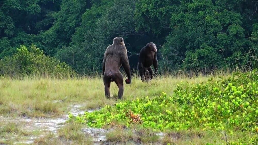 チンパンジー ゴリラ ロアンゴ国立公園