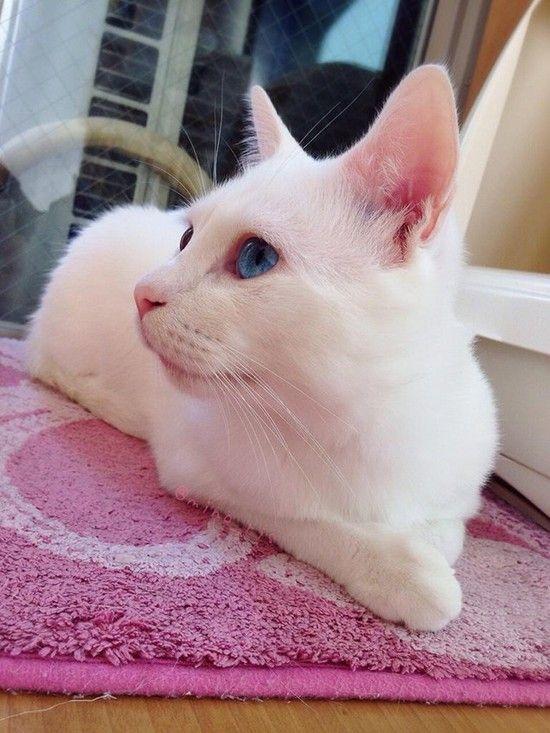 日本一寝顔が酷い絶世の美猫セツちゃんに関連した画像-02