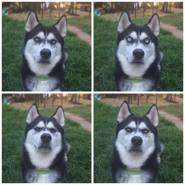 シベリアンハスキー犬のAnukoに関連した画像-02