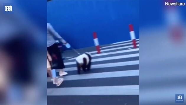 中国 犬 パンダに関連した画像