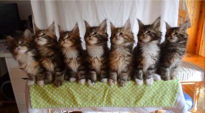 7匹の子ネコが驚異のシンクロに関連した画像-05