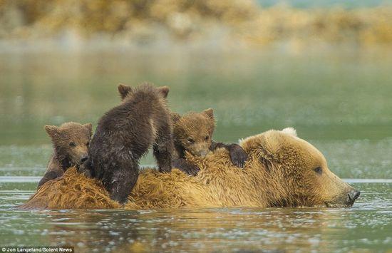 泳げない小グマを3匹、背中に乗せて川を渡るグリズリーのお母さんに関連した画像-04