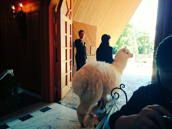 栃木では結婚式にアルパカが参列に関連した画像-03