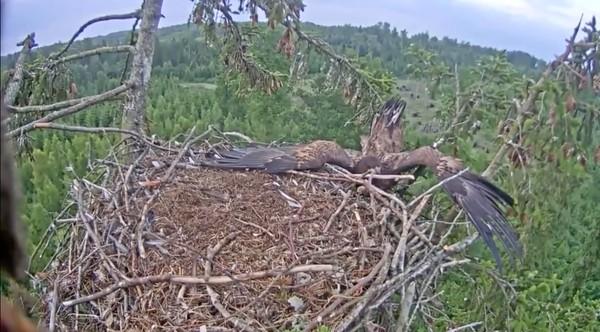 巣にうまく着陸できなかったワシに関連した画像-04
