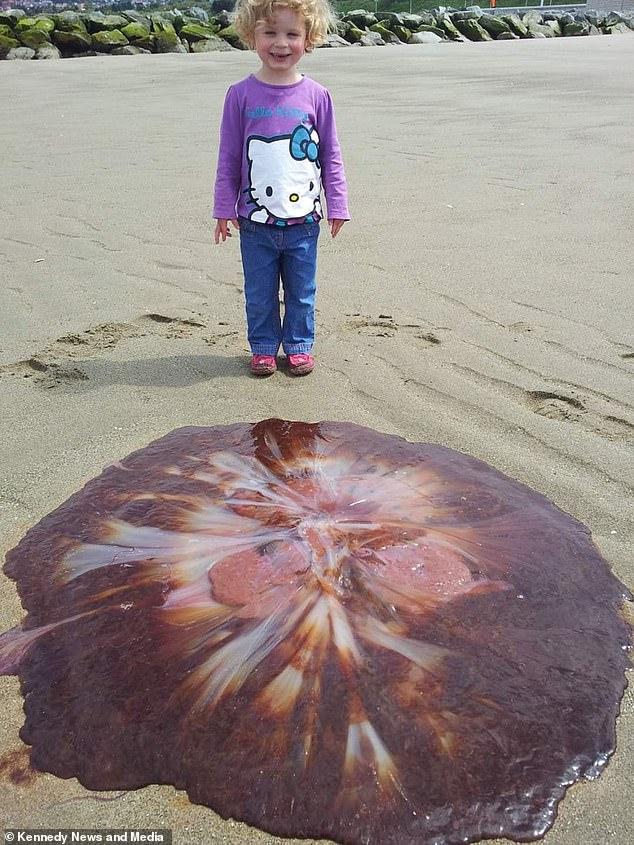 イギリス クラゲ 巨大に関連した画像-03