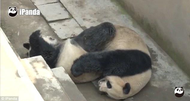 パンダの交尾時間が世界最長を記録に関連した画像-03