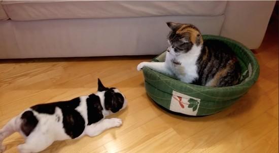 ベッドを取り返そうと必死な子犬と意に介さない猫に関連した画像-01