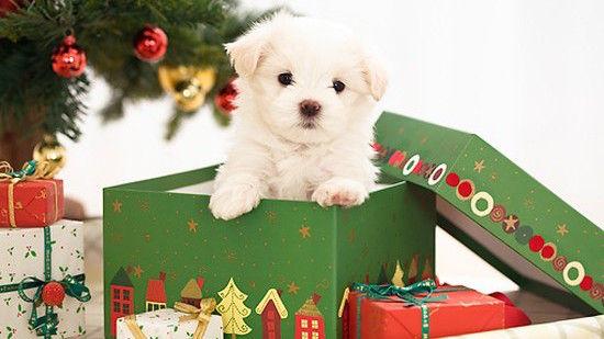 子犬のプレゼントに感涙に関連した画像-01