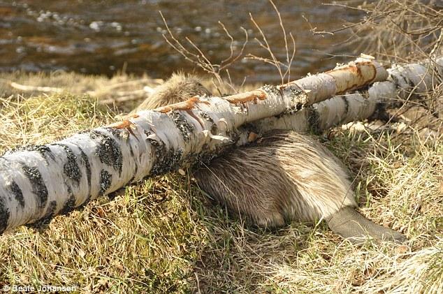 ビーバー、自分のかじり倒した木の下敷きに関連した画像-04