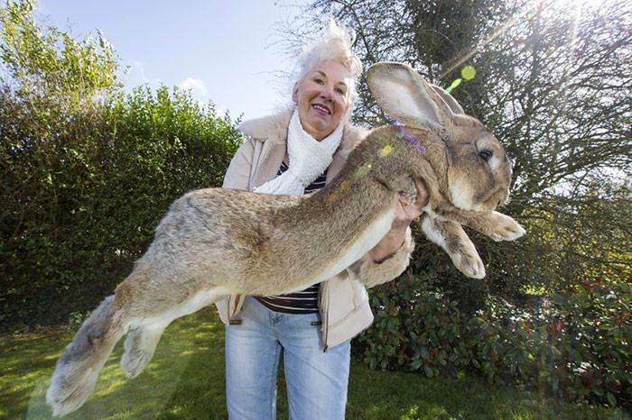 世界一大きなウサギに関連した画像-03