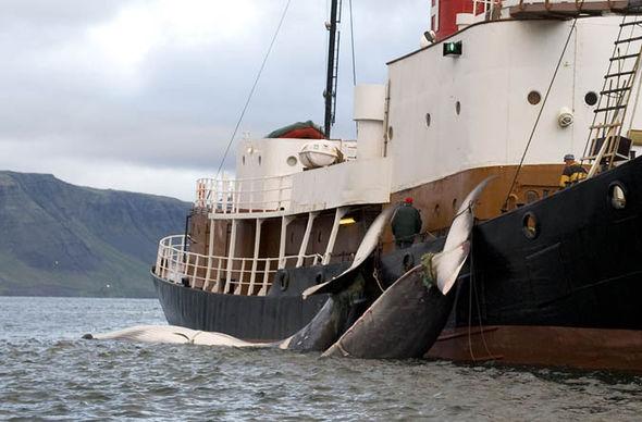 アイスランドの捕鯨企業Hvalurは日本を「時代遅れな国」だと厳しく非難に関連した画像-06