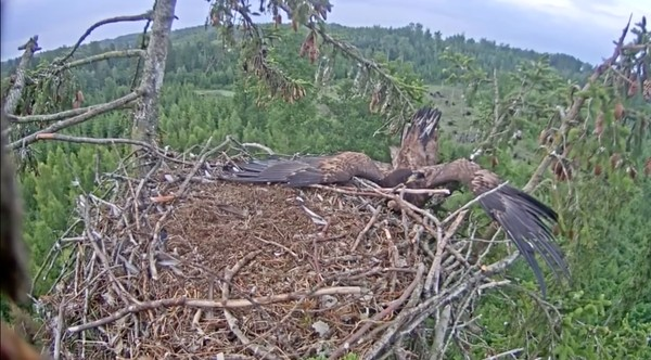 巣にうまく着陸できなかったワシに関連した画像-05