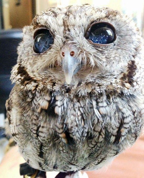 「宇宙の瞳」を持つ盲目のフクロウに関連した画像-03