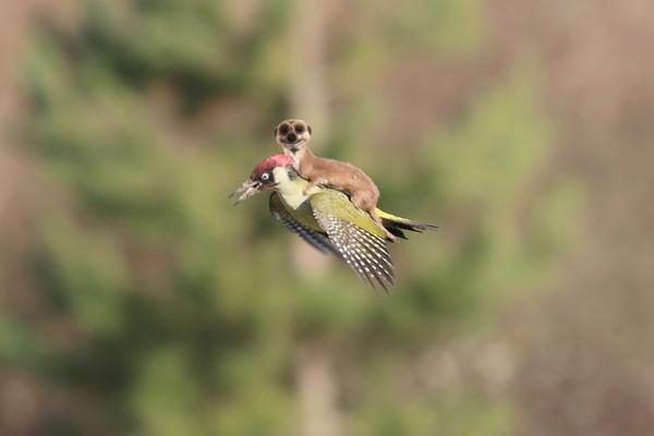 イタチがキツツキの背中に乗って、空を飛んだに関連した画像-04
