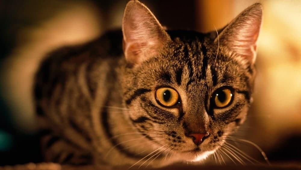 コウモリ ネコ 猫 ロシア イギリス