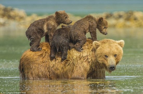 泳げない小グマを3匹、背中に乗せて川を渡るグリズリーのお母さんに関連した画像-05