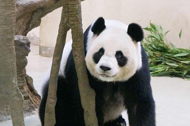 パンダ、クーラーのきいた部屋で豪華な生活をするため妊娠を偽るに関連した画像-04