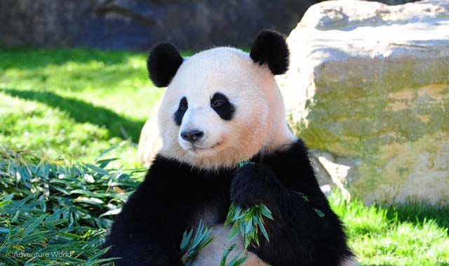 中国 犬 パンダに関連した画像-01