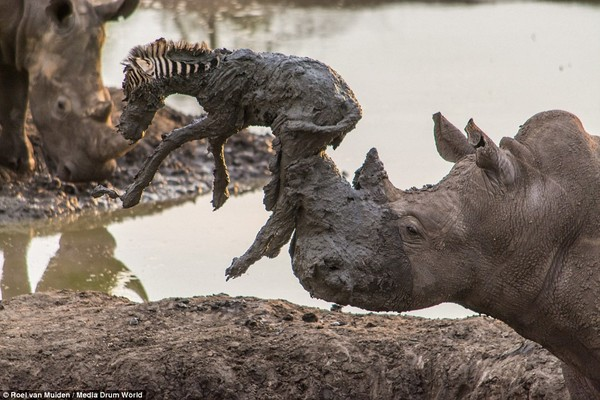 サイが泥沼に落ちた子シマウマを救出!が・・に関連した画像-04