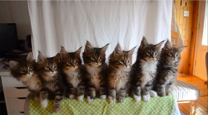 7匹の子ネコが驚異のシンクロに関連した画像-01