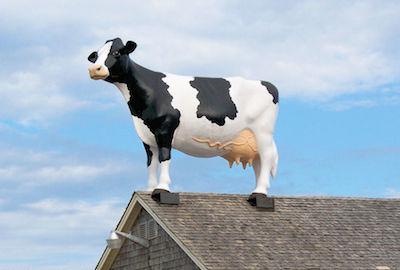 牛が屋根の上で立ち往生に関連した画像-01