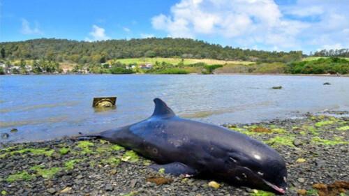 モーリシャス諸島 イルカ 死亡 母子に関連した画像-01