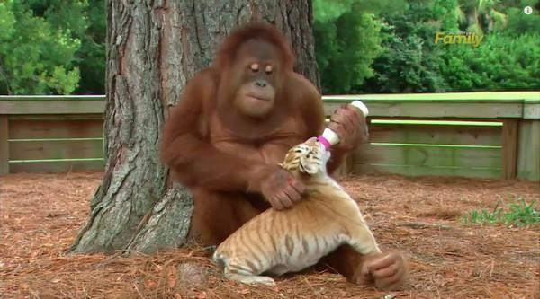 オラウータンがトラを子育てに関連した画像-03