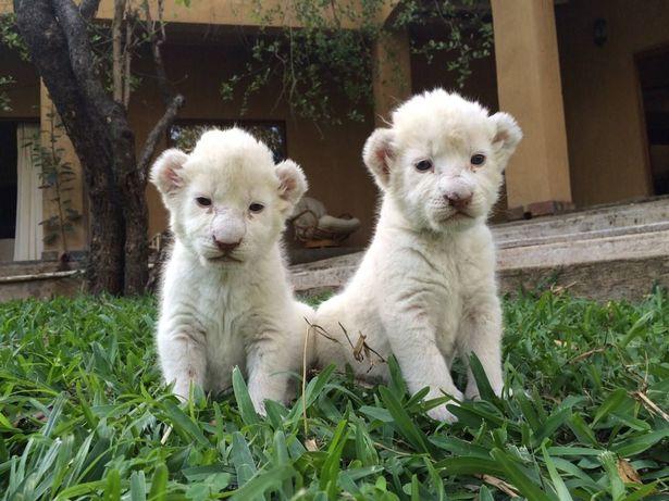自然保護活動家 白ライオン 南アフリカに関連した画像-03