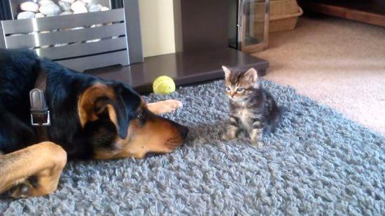 子猫に構ってもらえない大型犬に関連した画像-01