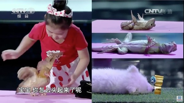 動物を次々と催眠術にかけていく中国の天才少女に関連した画像-06