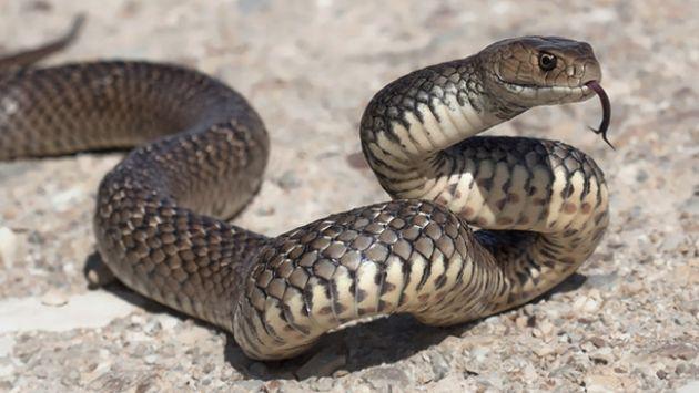 オーストラリア トラック コブラに関連した画像-01