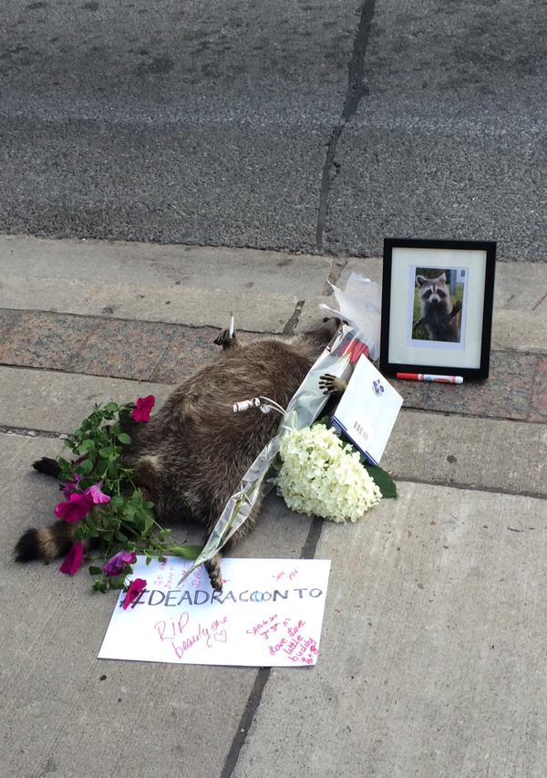 街中で死んだアライグマに、カナダ人が続々と追悼に関連した画像-05