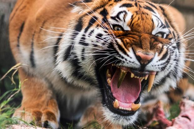 ベンガルトラに金歯の牙に関連した画像-04