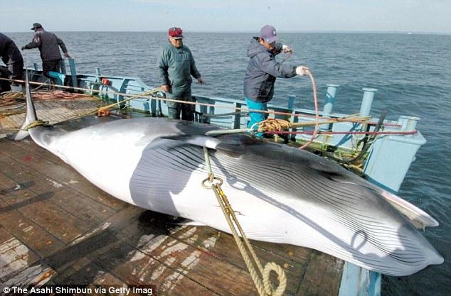 「クジラ肉を食べた」と英王室キャサリン妃の妹に関連した画像-03