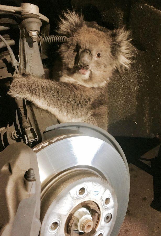 コアラに関連した画像-02