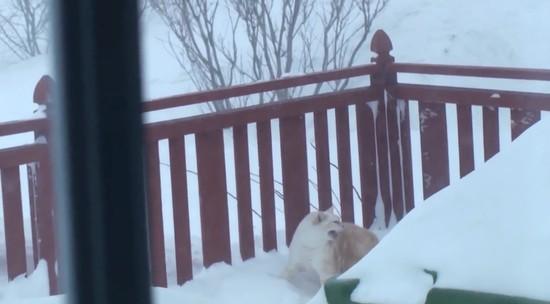 雪の壁を破壊して家に入るネコに関連した画像-01