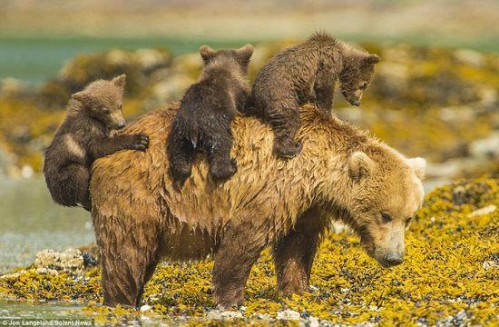 泳げない小グマを3匹、背中に乗せて川を渡るグリズリーのお母さんに関連した画像-03