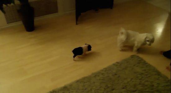 犬を追いかける子豚に関連した画像-01