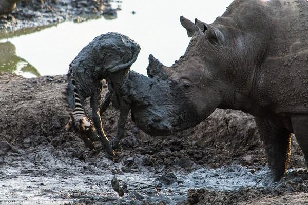 サイが泥沼に落ちた子シマウマを救出!が・・に関連した画像-03