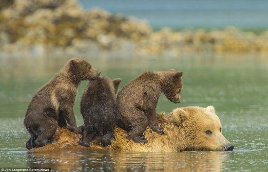 泳げない小グマを3匹、背中に乗せて川を渡るグリズリーのお母さんに関連した画像-01